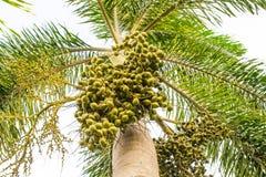 Palma de betel Fotos de archivo libres de regalías
