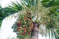 Palma de betel Fotografía de archivo libre de regalías