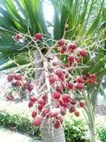 Palma de betel hermosa Fotografía de archivo libre de regalías
