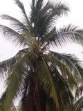 Palma de coco Fotos de archivo libres de regalías