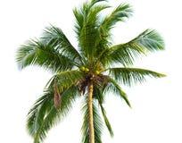 Palma de coco Foto de Stock