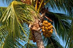 Palma de coco Foto de Stock Royalty Free