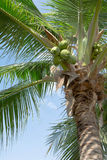 Palma de coco Imagem de Stock