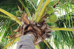 Palma de coco fotos de stock royalty free