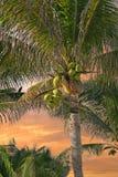 Palma de coco Imagens de Stock Royalty Free