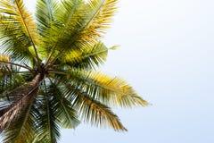 Palma de coco Imagen de archivo libre de regalías