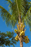 Palma de coco com frutos Fotografia de Stock