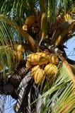 Palma de coco com porcas Foto de Stock