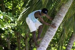 Palma de coco de escalada do homem em Samana, República Dominicana Imagem de Stock Royalty Free