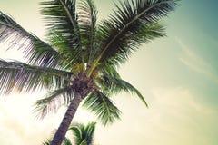 Palma de coco (efecto procesado imagen filtrado del vintage ) Fotos de archivo