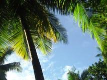 Palma de coco exótica imagenes de archivo