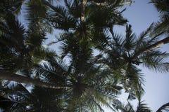 Palma de coco de la visión diferentemente - 2 Imágenes de archivo libres de regalías