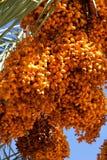 Palma de data com grupos do fruto imagem de stock