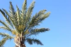 Palma de data das Ilhas Canárias com o céu azul na manhã imagem de stock royalty free