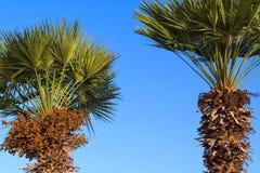 Palma de data dois contra o céu azul brilhante Fotos de Stock