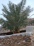 Palma de data em Madha, Omã fotografia de stock