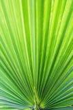A palma de fã americana do Arizona da palma do algodão da palma de fã do deserto do filifera de Washingtonia descascou as folhas  imagem de stock royalty free