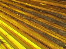 Palma de fã de Califórnia, palma de fã do deserto Imagens de Stock