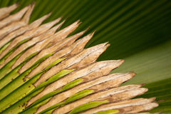 Palma de fã de Fiji Fotos de Stock Royalty Free