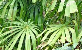 Palma de fã dos manguezais ou palma da boa sorte - Licuala Spinoa da família do Arecaceae - flora e floresta em ilhas Nicobar de  imagem de stock
