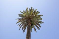Palma de fan de California Fotografía de archivo
