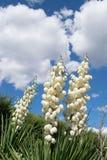 Palma de florescência da mandioca com uma flor e umas hortaliças enormes Fotografia de Stock
