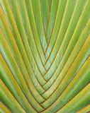 Palma de las hojas de ruta (traveler) Imagenes de archivo