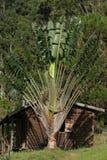 Palma de las hojas de ruta (traveler) Fotografía de archivo libre de regalías