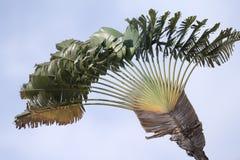 Palma de las hojas de ruta (traveler) (madagascariensis de Ravenala) Fotos de archivo