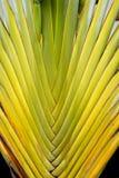 Palma de las hojas de ruta (traveler) (madagascariensis de Ravenala) Imagen de archivo