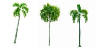 Palma de Manila, merrillii de Veitchia de la palmera de la Navidad Imagen de archivo libre de regalías