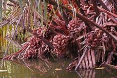 Palma de Nipa ou palma dos manguezais fotos de stock