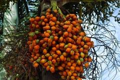Palma de nuez de betel imagen de archivo libre de regalías