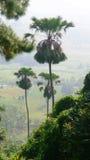 Palma de Plamyra, Lontar, palma de fan fotografía de archivo