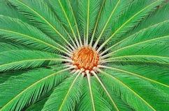 Palma de sagú (revoluta del Cycas) Imagen de archivo libre de regalías
