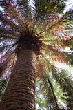 Palma de tâmara Fotografia de Stock