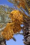 Palma de tâmara Imagens de Stock
