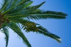 Palma de tâmara Foto de Stock Royalty Free