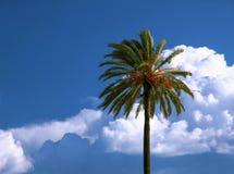 Palma de tâmara, Phoenix Dactylifera Fotografia de Stock Royalty Free