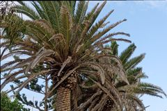 Palma de tâmara Fotografia de Stock Royalty Free