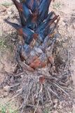 Palma de toddy Imagenes de archivo