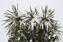 Palma del árbol de la nieve Imagen de archivo