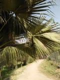 PALMA DEL BISMARK, PAISAJE SUBTROPICAL Imagenes de archivo