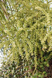 Palma del dado di areca o della noce di betel sull'albero Immagine Stock