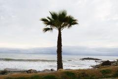 Palma del fan di California (filifera di Washingtonia) da Ocea pacifico Fotografie Stock Libere da Diritti