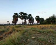 Palma del giacimento e del riso in Tailandia di nordest Fotografia Stock