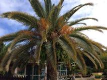Palma del invernadero de Anguila Fotografía de archivo