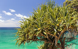 Palma del Pandanus Fotografia Stock Libera da Diritti