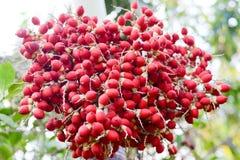 Palma del rossetto, Palmae fotografia stock