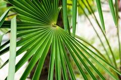Palma dell'erbaccia della pianta del mulino a vento di fortunei di Trachycarpus dalla porcellana immagini stock libere da diritti